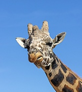 Giraffe making a funny face twisting her lips
