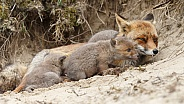 Red fox cub and mother
