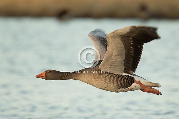 Greylag Goose in Flight