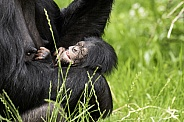 Newborn Chimpanzee In Mothers Arms