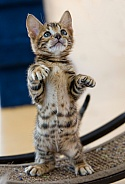 Toyger Kitty
