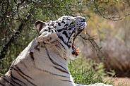 Yawning white tiger