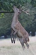 Red Deer feeding