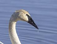 Trumpeter Swan Closeup at a Lake