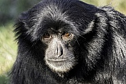 Siamang Close Up Face Shot