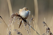 The bearded reedling (Panurus biarmicus)