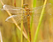 Newly Emerged Hawker Dragonfly