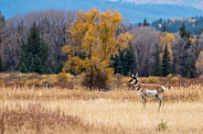 Pronghorn Male
