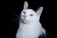 Black and white cplored cat