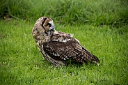 Hybrid Owl Species In The Grass Full Body