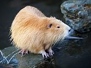Bever rat