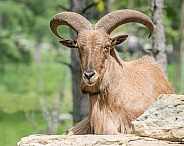 Barbary Sheep Ram