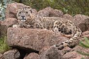 Snow Leopard Lying On Rocks Full Body