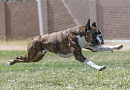 Boxer chasing a lure during a fast cat event