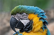 Blue and gold macaw parrot head shot