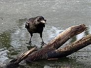 Carrion crow (Corvus corone