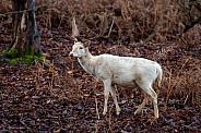 deer (white fallow buck)