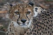 Cheetah(Acinonyx jubatus)