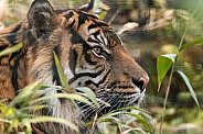 Sumatran Tiger In Grass
