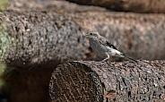 Northern Shrike Perching on a Log