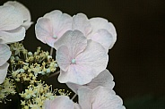 White Hydrangea with a touch of pink