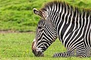 Grevy's Zebra Head Shot Lying Down In Grass