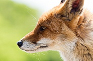Red fox close-up from the side