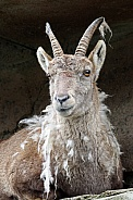 Moulting Alpine ibex
