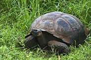 Giant Tortoise (Geochelone elephantopus ssp.