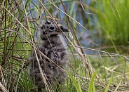 Common Mew Gull Chick