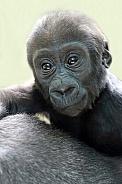 Western Lowland gorilla baby (gorilla gorilla gorilla)