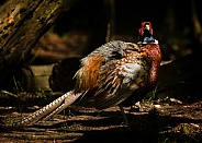 Common Pheasant Cock