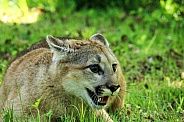 Young Mountain Lion / Cougar