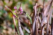Anna's Hummingbird in Flight (Female)