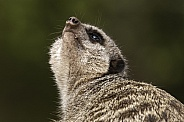 Meerkat Looking Up To Sky