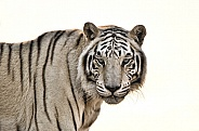 Tiger - White Tiger, White Background