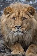 Young African Lion(Panthera Leo)