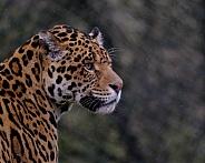 Jaguar portrait.