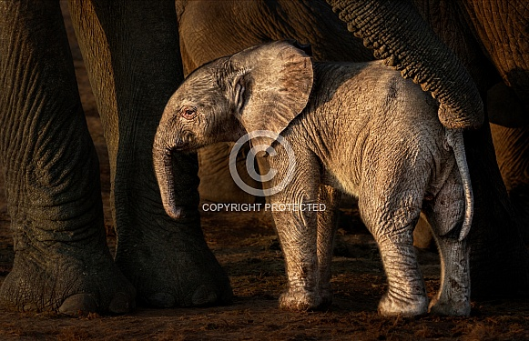 African Elephant. Meeting the youngster