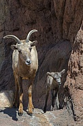 Bighorn Sheep - Ewe and Week-Old Lamb
