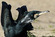Common Cormorant