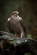 The northern goshawk in a forest