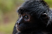 Spider Monkey Looking Left