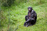 A Bonobo sitting in the grass