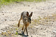 Young Brown Hare