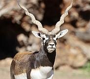 Black Buck Antelope