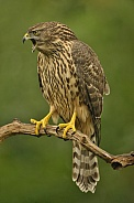 Screaming juvenile goshawk