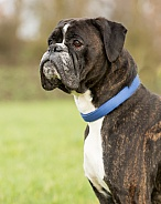 Brindle Boxer Portrait