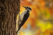 Autumn Hairy Woodpecker