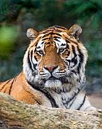 Mature Amur Tiger